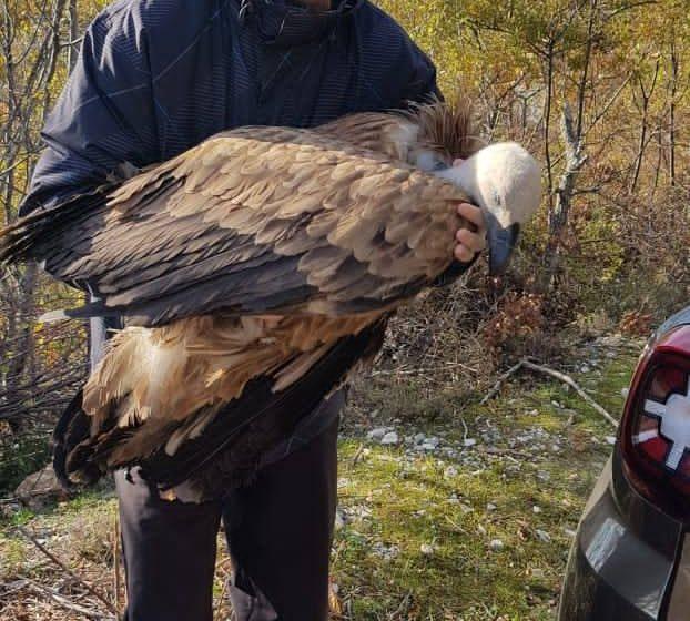 Još jedan bjeloglavi sup, zbog krivolova, završio svoj let u Crnoj Gori