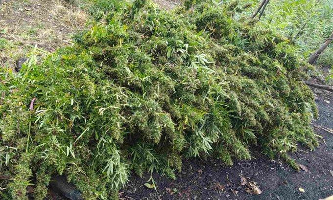 U Zeti otkrivena plantaža sa 1.330 stabljika marihuane